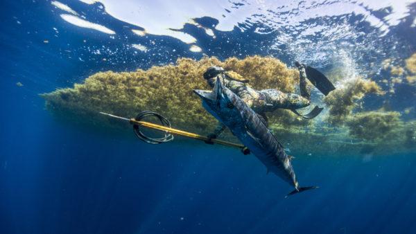 wahoo sargassum gulfstream spearfishing freediving